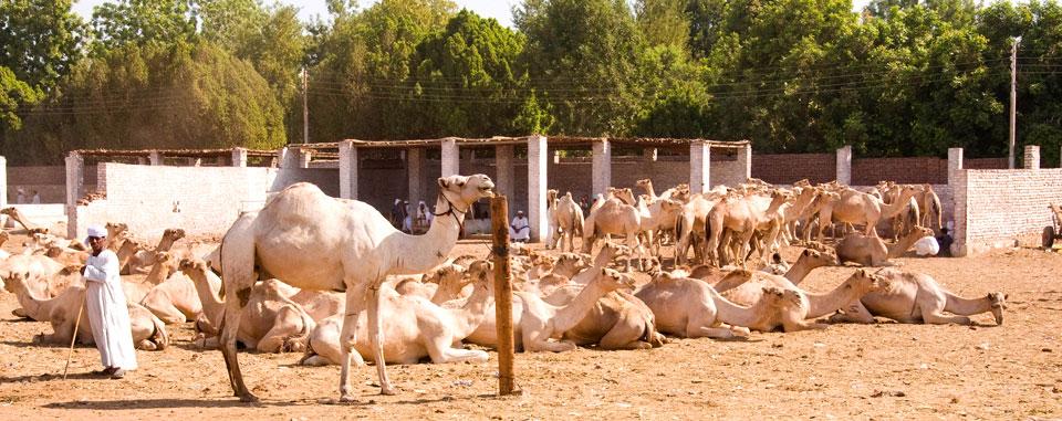 dahabiya_nile_cruise_egypt_camel_market